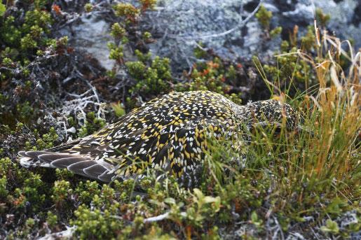 Ljungpipare [Pluvialis apricaria]